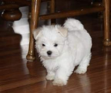 Pedigree Teacup Maltese Puppies Available