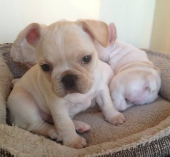 Champion/Bloodline CKC/AKC French Bulldog Puppies