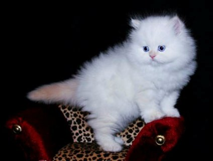 adorable Persian Kittens for you