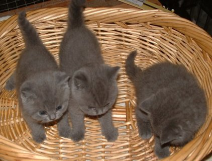 lovely BRITISH SHORTHAIR  kittens available