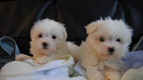 Beautiful litter of stunning pure bred Maltese puppies