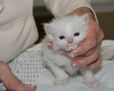 lovely ragdoll kittens ready to go for good home