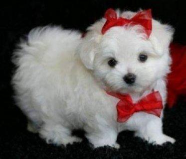 Cute White Teacup Maltese Puppies