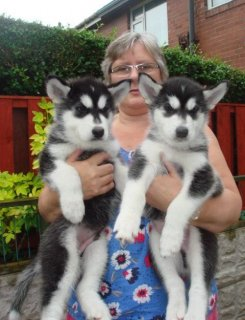 Amazing male and female Siberian Husky Puppies  Beautiful Siber