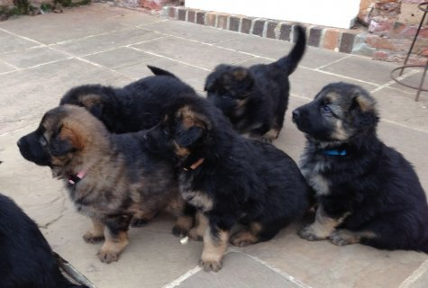 Super Pretty german shepherd  puppies For Adoption