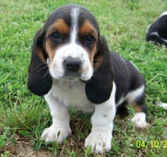 Healthy Basset Hound Pups for sale