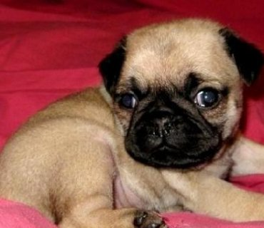 Available Pug Puppies For Sale