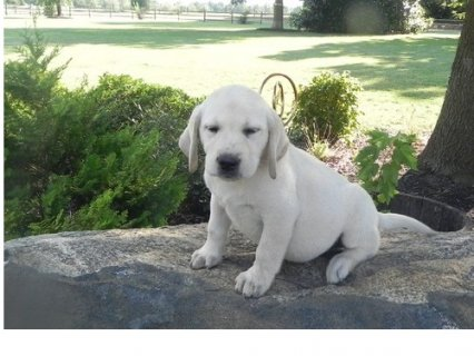 صور   	  lovely labrador puppy needs some who can take care of them 1