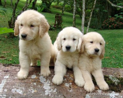 Wonderful and house trained Golden Retriever puppies