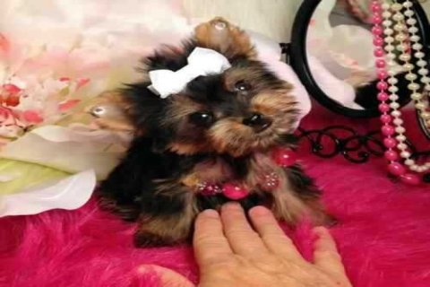 صور Super Yorkie Pups for Adoption 1