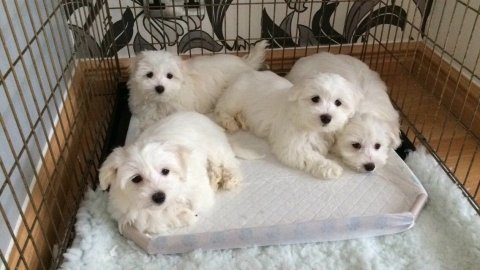Potty Trained Teacup Maltese Puppies