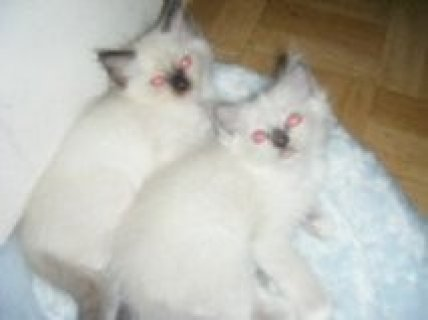 beautiful Male and female Ragdoll Kittens