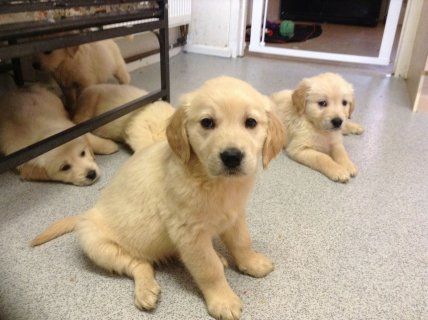 صور  Male & Female Golden Retriever puppies- 1