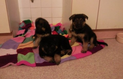 Lovely GERMAN SHEPHERD PUPPIES
