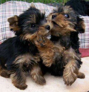 Yorkie puppies are ready to go