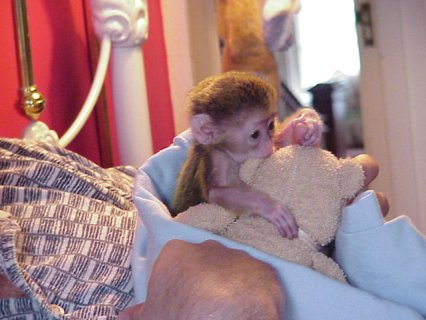 Amazing Capuchin Monkey   Monkey that will make a perfect additi