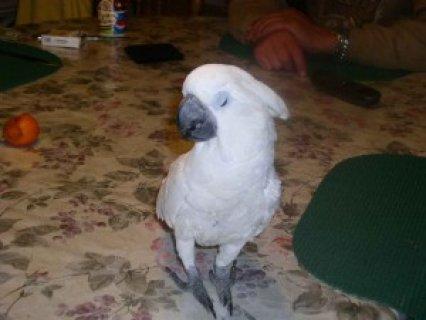 Home Raised Beautiful Umbrella Cockatoo Parrot for Adoptions