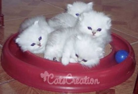 White Persian Kittens for sale...