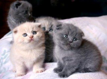 Kittens Scottish fold for Adoption