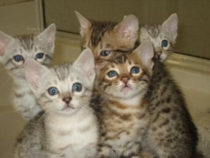 BENGAL Kittens Available for rehoming