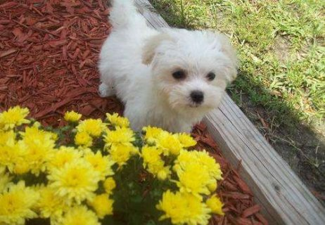 Lovely maltese puppies for adoption.