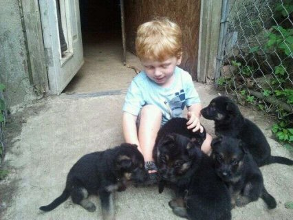 Potty Trained German Shepherd Puppies.