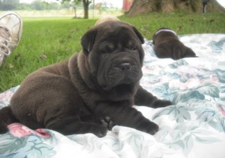 Adorable shar pei puppies for sale...