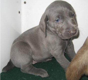 Adorable Male and Female Weimaraner puppies