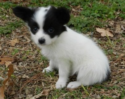 Purebreed Papillon Puppies for sale now	.