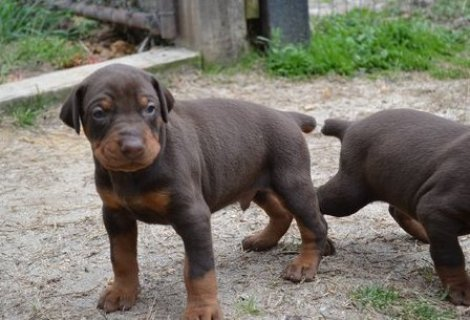 Doberman Pinscher, Puppies For Good Homes.serious inquiries are
