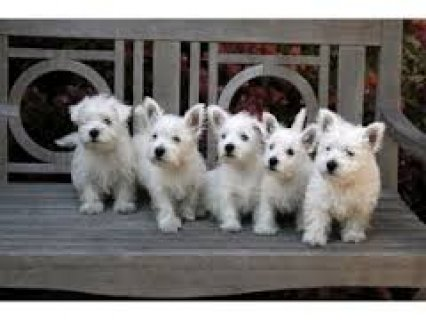 صور Pure Breed Male/Female West Highland White Terrier Puppies  1