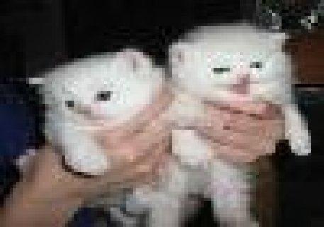White Persian Kittens for free  adoption
