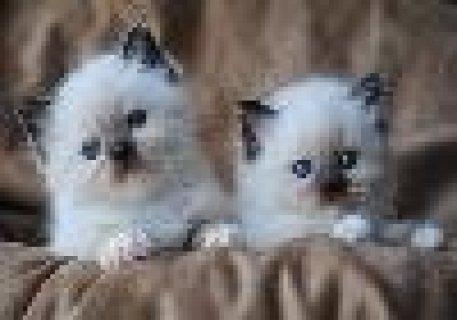 Ragdoll Kittens Kittens For Adoption