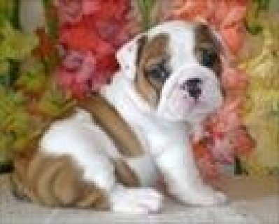 TWO.BEAUTIFUL CHARMING ENGLISH BULLDOG PUPPIES READY FOR SALE AL