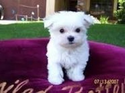 Maltese Pup for Adoption