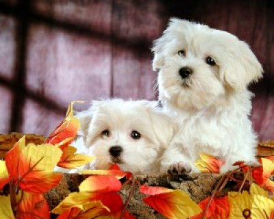 Teacup Maltese Puppies fght