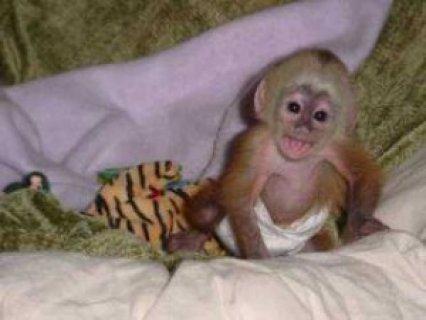Well Trained Capuchin Monkeys cvxz