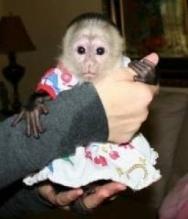 Two Capuchin Monkeys for Sale sdder