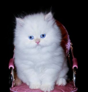 three Cute White Persian female kittens for adoption