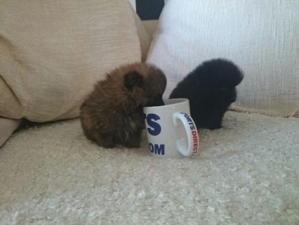 Grey Male and Black Female Tiny Teacup Pomeranian Puppies For ad
