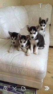 male and female siberain husky  available