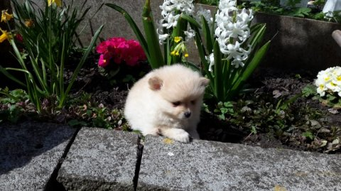 Adorable Pedigree Pomeranian Puppies Ready Adorable Pedigree Pom