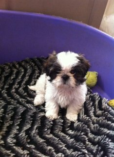 Cute shih tzu  Puppies for Re-homing