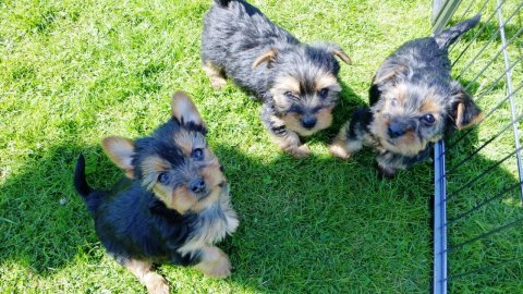 Teacup & Toy Yorkie Puppies for Sale