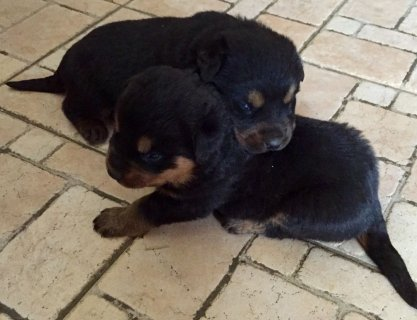 Rottweiler  puppies available.