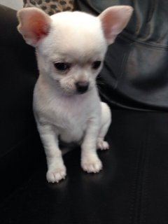 صور Chihuahua  Puppies Available Free 1