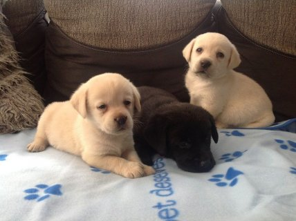 Potty Trained labrador  Puppies