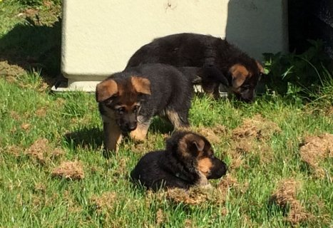 Super Beautiful German Shepard Puppies
