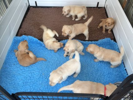 Gorgeous Male and female Golden Retriever Puppies left