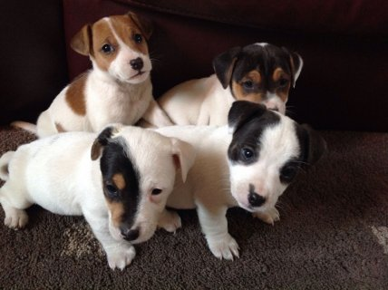 Magnificent  Pure Jack Russells puppies